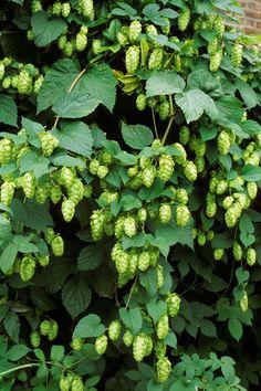 Hops <em>(Humulus lupulus)</em> Zones 4-8  - CountryLiving.com
