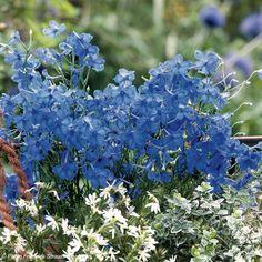 Graines de Delphinium Blue Diamonds - Pied d'alouette de Chine bleu
