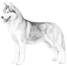 NEW AKC website is AMAZING.  Siberian Husky Breed Standard Illustration
