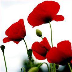 Poppies!...
