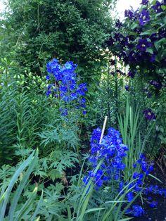 """What a color! Delphinium blue--Delphinium Bellamosum.  A lovely """"bush type"""" that I enjoy using for flower arranging."""
