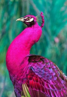 rare pink peacock - beautiful Okay, nature, you've managed to combine two things I don't like :birds and the color pink; and somehow made one of my absolute favorite things ever. Pretty Birds, Love Birds, Beautiful Birds, Animals Beautiful, Amazing Animals, Pretty Animals, Beautiful Wall, Beautiful Life, Exotic Birds