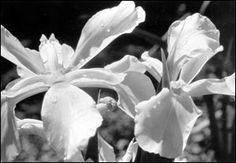 Flowering Perennials for Georgia Gardens | CAES Publications | UGA