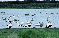 Ducks in Iceland. Places Around The World, Around The Worlds, Wonderful Places, Ducks, Iceland, Globe, Animals, Ice Land, Speech Balloon