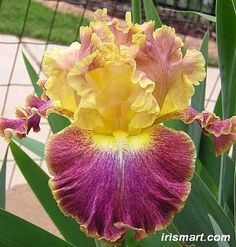 Tall Bearded Iris 'High Master' (Iris germanica)