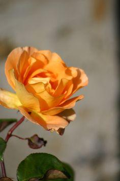 Rose Yellow/Orange  DESIGNETPHOTO