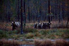 Finland - Mother bear with four cubs https://s-media-cache-ak0.pinimg.com/originals/61/0c/3c/610c3c6519381ab9af7e4ad6ef20ca5a.jpg