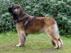 really big dogs picture Massive Dog Breeds, Best Large Dog Breeds, Giant Dog Breeds, Giant Dogs, Really Big Dogs, Irish Wolfhound Dogs, Dog Insurance, Retriever Dog, Working Dogs