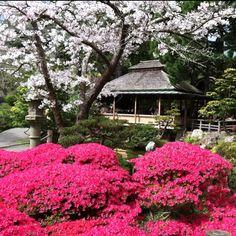 Tea House amongst the Azelias, Japanese Tea Garden in March  Golden Gate Park, San Francisco