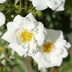 Marktäckande ros WHITE COVER ('Poulcov') Dream Garden, Modern, Flowers, Plants, Maj, Trendy Tree, Florals, Plant, Flower