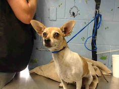 09/10/2016 SUPER URGENT This sweet DOG was surrendered with another Chihuahua adult and a young pup, they are no longer listed and this doggie is the only one left to adopt. She is only two years old and has lost her doggie family and her home. Please share to save her life. San Bernadino Animal Control.