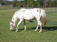 Tiger horse breed - photo#26
