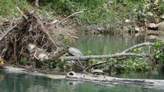 If you look closely you can see two turtles on these sticks.