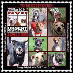 TO BE DESTROYED 04/22/17 - - Info To rescue a Death Row Dog, Please read this:http://information.urgentpodr.org/adoption-info-and-list-of-rescues/ To view the full album, please click here: http://nycdogs.urgentpodr.org/tbd-dogs-page/ - Click for info & C