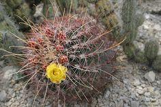 Biznaga ganchuda (Ferocactus hamatacanthus), Coahuila, México.IMG_2507 algp de su flora