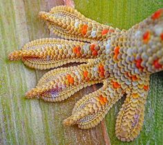 Another detail shot of a Tokay Gecko.