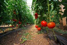 A tutaj efekty wiosennych wysiewów warzyw w szklarni.