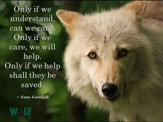 Only If We Understand Can We Care, Only if We Care Can We WillHelp, Only if We Help Shall They Be Saved--Jane Goodall--Wolf Conservation Center Photo Beautiful Wolves, Animals Beautiful, Adorable Animals, Husky Hybrid, Lone Wolf Quotes, Shark Conservation, Wolf Warriors, Wolf Husky, Animal Agriculture