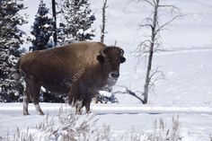 35563992-Winter-Bison-in-Yellowstone-National-Park-Stock-Photo.jpg (1300×866)