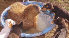 Capybara, the most friendly animal