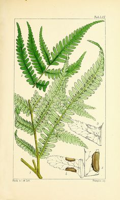 Vintage Fern Prints Plate 8 Wall Art beautiful giclee reproduction print on fine paper. Available in different sizes, unframed or framed in gold or silver leaf wood frame, or wood burl. Custom sizes available. Made in USA by Museum Outlets