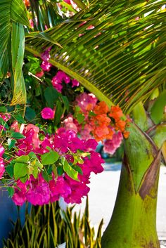 Bougainvillea and coconut palm.