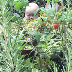 Blessed garden and one tomato