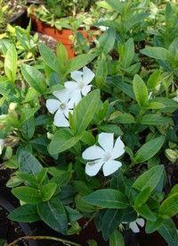 Kis meténg, vegyes színekben, Vinca minor fajták