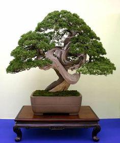 第27回日本盆栽大観展で最高賞の内閣総理大臣賞を受賞したシンパク   True Kashiwa, which won the Prime Minister's Prize of the best award at the 27th Japan Bonsai Exhibition Taikan