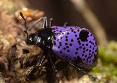 I don't do bugs, but this purple beetle is so cool!