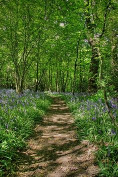 One of the last true Bluebell woods in Essex and part of Shipwrights Wood.