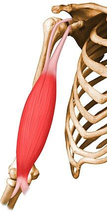 All the muscles of the body: O/I, Action, Innervation, Arterial Supply...THIS IS SO AWESOME!