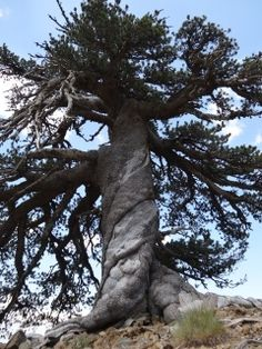Adonis, a Bosnian pine, more than 1,075 years old and still living in the alpine forests of the Pindos mountains in northern Greece .That makes it the oldest known living tree in Europe. Image via Dr. Oliver Konter, Mainz