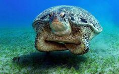 A big turtle yeah