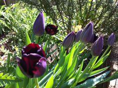 Tulipes Queen of night KLLM