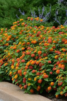 Lantana: Drought-tolerant annual that comes in many colors ranging from pure white to red to orange to peachy pinks. Bees and butterflies are attracted to this sturdy plant. Looks great draping out of pots and hanging baskets on its own or as part of a mi Full Sun Perennials, Full Sun Plants, Full Sun Shrubs, Full Sun Container Plants, Full Sun Garden, Full Sun Landscaping, Landscaping Plants, Texas Landscaping, Garden Shrubs