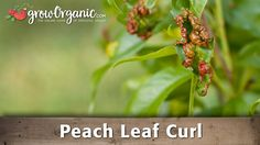 Are your peach trees suffering from Peach Leaf Curl? In this video, Tricia will show you what Peach Leaf Curl is and how to treat and prevent it. Nectarine Tree Leaves, Spring Garden, Lawn And Garden, Peach Tree Diseases, Organic Gardening, Gardening Tips, Cherry Leaf, Apricot Tree, Growing Fruit Trees