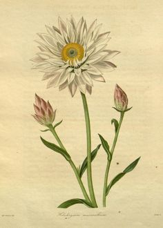 Helichrysum macranthum (Large-flowered Helichrysum). Plate from 'The Botanist' by B. Maunde assisted by J.S. Henslow. Published by Groombridge & Co. 1839? Missouri Botanical Garden archive.org