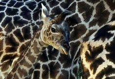 A baby female Masai Giraffe who has been named Shani, stands beside her mother Naema, after being born three weeks ago at the Los Angeles Z...