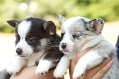 """my new corgi pup Dottie!"" I'm guessing the one with the dots. Merle Corgi, Corgi Husky, Cute Corgi Puppy, Welsh Corgi Puppies, Corgi Pembroke, Corgi Mix, Puppies And Kitties, Cute Cats And Dogs, I Love Dogs"
