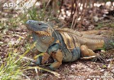 Endemic to Grand Cayman, this magnificently striking blue iguana is one of the most endangered lizards on Earth
