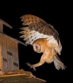 Bird flight sequences on Pinterest | Owls, Bird Wings and Hummingbirds