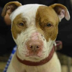 Manhattan Center CRAIG - A1016321 *** DOH HOLD 10/4/14 ***MAY REQUIRE 6 MONTH QUARANTINE FOR BITES OF UNKNOWN ORIGIN*** MALE, WHITE / BROWN, PIT BULL MIX, 3 yrs STRAY - EVALUATE, HOLD FOR DOH-NHB Reason STRAY Intake condition EXAM REQ Intake Date 10/04/2014, From NY 10458, DueOut Date 10/14/2014, https://www.facebook.com/Urgentdeathrowdogs/photos/a.617938651552351.1073741868.152876678058553/880793365266877/?type=3&theater