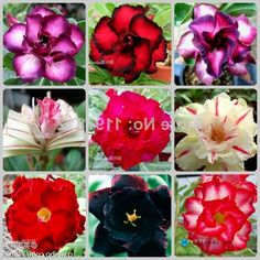 Gardening:Flower Pots Planters Adenium Obesum Seeds Rainbow Desert Rose Seeds Bonsai Plants Seeds For Home Garden 002 Rose Garden Tips and Plans Ideas : How to Grow a Rose Garden in Pots and Other Flower Container