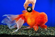 Did you know something as simple as a goldfish can live past forty years of age and reach over a foot in length? Here's the how-to's of keeping tropical fish in an ethical manner. Colorful Fish, Tropical Fish, Goldfish Types, Oranda Goldfish, Koi Betta, Image Of Fish, Golden Fish, Underwater Plants, Beautiful Fish