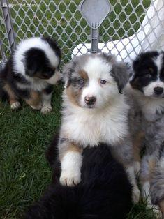 Australian Shepherd puppies. Blue merle, half mask male puppy.