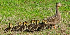 get all your ducks in a row