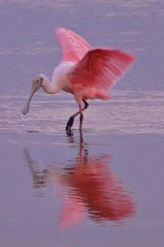 You don't have to be Alice in Wonderland to see this Roseate Spoonbill  (Florida).