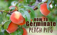 Discover how to germinate peach pits and save money by growing your own fruit trees.
