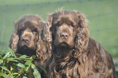Ruddles and Peggy Sussex spaniels